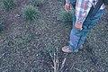 Starr-980328-0027-Andropogon virginicus-regrowth after fire-Gressit Preserve-Maui (24487016126).jpg