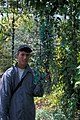 Starr-980529-4169-Strongylodon macrobotrys-flowers with Forest-Enchanting Floral Gardens of Kula-Maui (23885746194).jpg