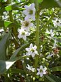 Starr 030530-0018 Myoporum sandwicense.jpg