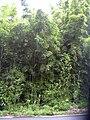 Starr 030807-0021 Phyllostachys nigra.jpg