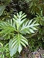 Starr 030807-0100 Artocarpus altilis.jpg