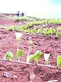 Starr 040330-0323 Jacquemontia ovalifolia subsp. sandwicensis.jpg