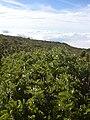 Starr 040813-0309 Sophora chrysophylla.jpg
