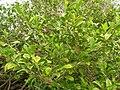 Starr 060225-6146 Psydrax odorata.jpg