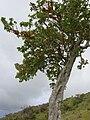 Starr 060429-9476 Nothocestrum latifolium.jpg