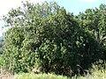 Starr 070215-4507 Macadamia integrifolia.jpg