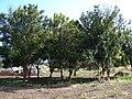 Starr 070215-4509 Macadamia integrifolia.jpg