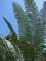 Starr 070306-5235 Cycas circinalis.jpg