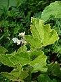 Starr 070321-5953 Begonia hirtella.jpg