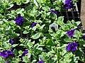 Starr 070906-8404 Petunia x hybrida.jpg