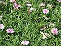 Starr 070906-8409 Argyranthemum frutescens.jpg