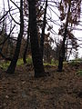 Starr 070908-9162 Pinus sp..jpg