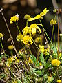 Starr 071024-9953 Argyranthemum frutescens.jpg