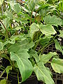Starr 080117-1608 Philodendron sp..jpg