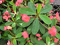 Starr 080117-1662 Euphorbia milii.jpg
