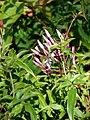 Starr 080219-2952 Jasminum polyanthum.jpg