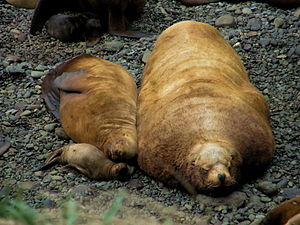 Steller sea lion - Relative sizes of sleeping Steller sea lion pup, adult female, and male on Yamsky Islands in the northeast Sea of Okhotsk