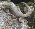 Stenocercus crassicaudatus (1).JPG