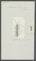 Stenosoma lineare - - Print - Iconographia Zoologica - Special Collections University of Amsterdam - UBAINV0274 098 06 0007.tif