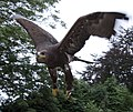 Steppe Eagle 1 (3863057948).jpg