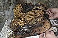 Stingless Bee Hive Structure.jpg