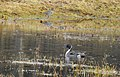 Stjärtand Northern Pintail (19729613543).jpg