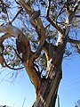 Strange tree, California, USA (9503256120).jpg