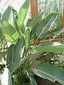 Strelitzia reginae 'Bird of Paradise' (Strelitziaceae) leaves.JPG