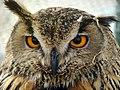 Strigiformes- Owl - جغد، پرنده شکاری 04.jpg