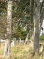 Strip wood, Loanhead - geograph.org.uk - 582009.jpg