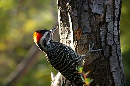 Striped Woodpecker.jpg