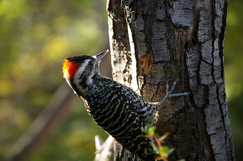 File:Striped Woodpecker.jpg