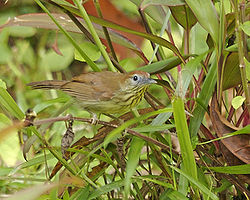 Striped tit babbler (Macronous gularis) - 2.jpg