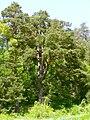 Strom roka borovica velke borove 01.jpg