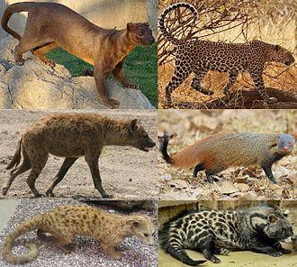 Feliformia - Several extant feliform families: Eupleridae, Felidae, Hyaenidae, Herpestidae, Nandiniidae and Viverridae.