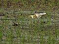 Sulawesi trsr DSCN0875 v1.JPG
