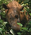 Sumatran Rhinoceros Way Kambas 2008 (crop).jpg