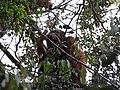 Sumatran orangutan (8187377063).jpg