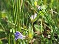 Sumpf-Helmkrau (Scutellaria galericulatat)@20180604 04.jpg