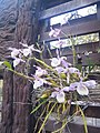 Suvarnabhumi Orchids Farm IMG 20160322 080225 (27170412790).jpg