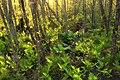 Swamp Walk (4) (8708213753).jpg