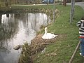 Swan nesting - geograph.org.uk - 1276219.jpg