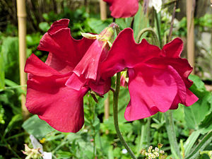 English: A Sweet PEa (Lathyrus Odoratus) growi...