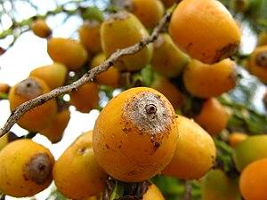 Syagrus romanzoffiana - Image: Syagrus romanzoffiana Fruit