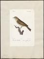 Sylvia trochilus - 1842-1848 - Print - Iconographia Zoologica - Special Collections University of Amsterdam - UBA01 IZ16200185.tif