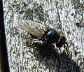 Syrphidae undet.jpg
