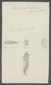 Taenia perfoliata - - Print - Iconographia Zoologica - Special Collections University of Amsterdam - UBAINV0274 105 19 0023.tif