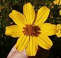 Tagetes lemmonii flower.jpg