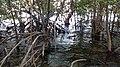 Taklong Mangroves.jpg