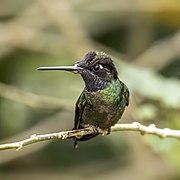 Talamanca hummingbird (Eugenes spectabilis) male 3.jpg